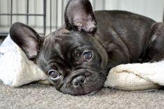 Brindle French bulldog pup