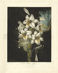 Thornton's Temple of Flora, Plate 20, The White Lily