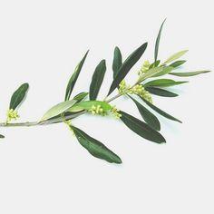 Preziosissimo Olio di Oliva!!! Ricco di antiossidanti naturali, idratante, nutriente ed emolliente, è la linfa vitale della bellezza a marchio Oro di Spello.  Scopri i prodotti nella boutique online