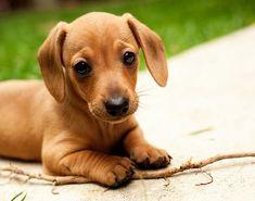 Dachshund puppy. <3