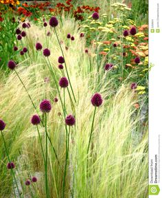 Drumstick allium interplanted with grasses