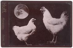 Huff, Untitled [Chickens], n. gelatin silver print, 4 in. x 5 in. cm x cm); Collection SFMOMA, Gift of Gordon L. San Francisco Museums, Chicken Art, Gelatin Silver Print, Chickens Backyard, Cool Art, Awesome Art, Museum Of Modern Art, Medium Art, Macabre