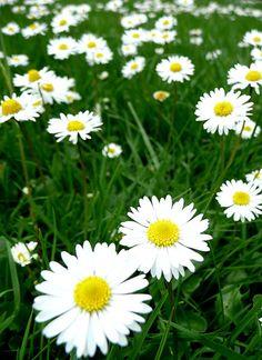 Pâquerettes - daisies