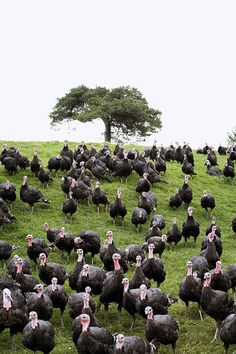 Like to feel safe in the knowledge that your Christmas turkey has lived a stress-free, happy life? Then choose a farm-fresh free range turkey this year. Beautiful Chickens, Beautiful Birds, Animals Beautiful, Country Farm, Country Life, Turkey Farm, Baby Turkey, Chickens And Roosters, Free Range