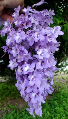 Jacaranda - Mimosifolia -Flower Cluster.  Rancho San Diego CALIFORNIA