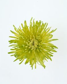 Chrysanthemum, Meaning: You're a wonderful friend