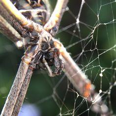So we meet again, spider. #macro #olloclip #olloclipmacro #weeklymobilemacro #insect #spider