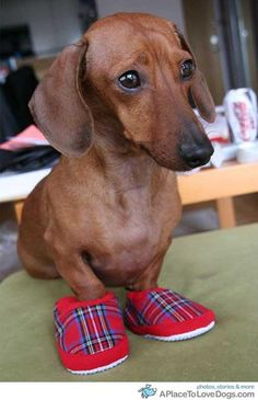 Dachshund with slippers.