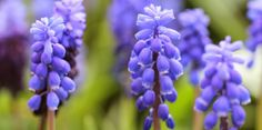 PERLEHYACINTER - Grape hyacinths