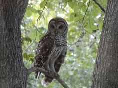 Owl  Bastrop County