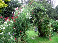 A willow arch covered in sweet peas - one of my favorite flowers