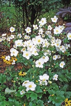 "The 2016 Perennial Plant of the Year is the Anemone ""Honorine Jobert,"" which gives bright pops of white to the garden in autumn, its peak flowering season."