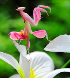 Hymenopus coronatus (known as orchid mantis) is from Malaysia, Indonesian & Sumatran rain forests. Hymenopus coronatus (known as orchid mantis) is from Malaysia, Indonesian & Sumatran rain forests. Cool Insects, Bugs And Insects, Small Insects, Beautiful Creatures, Animals Beautiful, Cute Animals, Colorful Animals, Beautiful Bugs, Amazing Nature