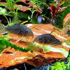 "@my_aquarium_blog on Instagram: ""Two beautiful corydoras sterbai...😊 ~ ~ ~ ~ ~ ~ ~ #Aquarium #aquascaping #corydoras #water #photooftheday #aquariumfish #justgoshoot…"""