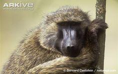 Yellow Baboon | Yellow baboon (Papio cynocephalus)