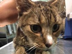 BOTH SAFE❤️❤️ 11/21/16 BY KNICK KNACK PITTIE PACK!! THANK YOU❤️Brooklyn Center  My name is ABIGAIL. My Animal ID # is A1097102. – P I am a female brn tabby and white domestic sh. The shelter thinks I am about 10 YEARS old.  I came in the shelter as a STRAY on 11/17/2016 from NY 11433, owner surrender reason stated was ABANDON. I came in with Group/Litter #K16-081704.