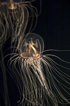 Bell Jellyfish    電球みたい