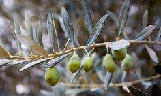 Spain olive groves