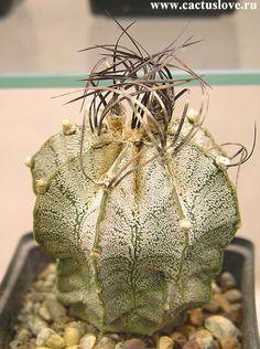 Astrophytum capricorne (A. Dietrich 1851) Britton & Rose 1922