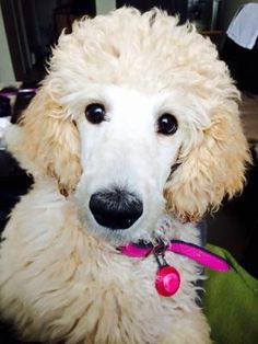 """Who am I, what am I, where's my poodle roots?"" #dogs #pets #Poodles… by anne"