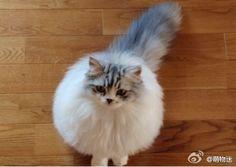 [寵物]萌物迷:你像一個充了氣的氣球,,,翻滾吧,小喵喵... - 微博精選 - 新浪微博台灣站