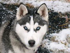 Different Types of Siberian Huskies #siberianhusky