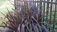 How to Divide Ornamental Grasses