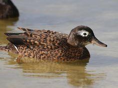 Laysan Duck  aka  Laysan Teal  (Anas laysanensis) by  Caleb Slemmons.