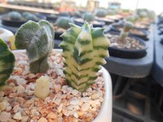 A.myriostigma cv.kikko nudum variegata