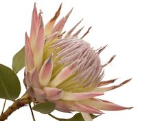 See Protea Art Prints at FreeArt. Get Up to 10 Free Protea Art Prints! Gallery-Quality Protea Art Prints Ship Same Day. Protea Art, Z Arts, Flower Art, Art Flowers, Card Templates, Royalty Free Photos, Free Images, Leaves, Photography