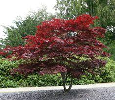 Japanse Esdoorn (Acer Palmatum) - mooi maar te paars????
