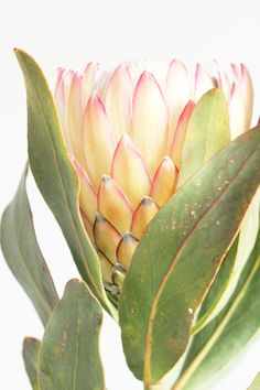 Simple Tips And Advice To Get Started In Arts And Crafts. What sort of art do you favor most? Botanical Wall Art, Botanical Flowers, Flowers Nature, Beautiful Flowers, Flower Prints, Flower Art, Protea Flower, Australian Native Flowers, Tropical