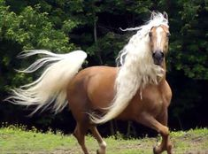 palomino Kentucky Mountain gelding. The Kentucky Mountain Saddle Horse is a horse breed from the US state of Kentucky. Developed as an all-around farm and riding horse in eastern Kentucky, they are related to the Tennessee Walking Horse and other gaited breeds.
