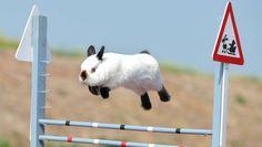 Der Rammler Snoopy beim Springtraining: Er galt als unbesiegbar.