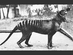 1El marsupial carnívoro más grande en los tiempos modernos (tenía 0,7 metros de altura y 1,8 metros de largo incluyendo la cola), el tilacino, vivió en el continente de Australia y Nueva Guinea. Cuando los europeos colonizaron ya estaba casi extinto, debido a la actividad humana.  Sin embargo, en Tasmania (de ahí viene el nombre más común loco de Tasmania) vivió más tiempo, el último tilacino salvaje fue cazado en 1930. El último tilacino en cautiverio, en la fotografía, murió en 1936.