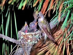 Index of /goof_off_games/jigsaw_puzzle Hummingbird Nests, Off Game, Hummer, Hummingbirds, Beautiful Birds, Jigsaw Puzzles, Pictures, Little Birds, Photos