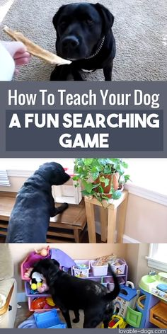 How To Teach Your Dog A Fun Searching Game ►► http://lovable-dogs.com/how-to-teach-your-dog-a-fun-searching-game/?i=p