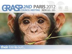 Experts at the 2nd GRASP Council meeting warn efforts need to be increased to keep pace with poachers & illegal traders. Preliminary great ape confiscation rates in Africa & Asia indicates that law enforcement is not keeping pace with the illicit trade. Of 392 great apes confiscated in 12 African countries between 2005-2011, only 6% were accompanied by an arrest. Of that number, only 3% resulted in a conviction. In Asia, 184 orangutans were confiscated in Sumatra, but only 1% featured an…