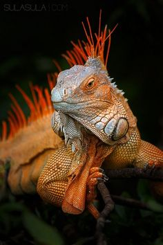 Green Iguana | by Petr Bambousek