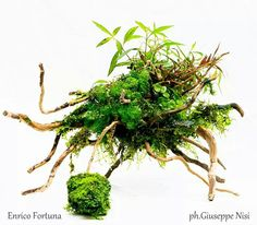 Wabikusa for Anubias Aquatic Plants by Enrico Fortuna