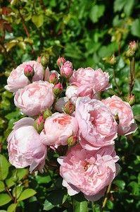 The Alnwick Rose (Алник Роуз), Austin, 2001