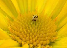 Coccinelle jaune sur coeur de fleur jaune. Photo de  Bernd Ullrich