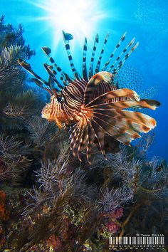 Red Lionfish in Mayotte Island Beautiful Ocean, Animals Beautiful, Ocean Aquarium, Underwater Sea, Cool Fish, Ocean Creatures, Exotic Fish, Sea And Ocean, Sea World