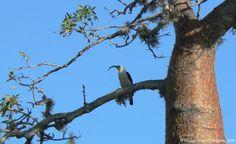 La falculie mantelée est endémique des forêts sèches malgaches