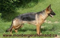 Résultats de recherche d'images pour «berger allemand lignée allemande femelle»