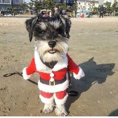 Happy holidays! And for those who celebrate Christmass : merry christmass. What holiday do you celebrate? Felices fiestas y para los que festejen Navidad feliz Navidad. ¿ Qué fiesta festejan? @hulk_koreanamerican.schnauzer