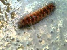 Caterpillars Swim