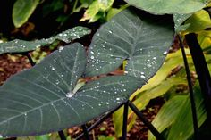 Elephant Ears is the common name for a group of tropical plants. They are tender perennials. Elephant ears become hardy only in the warmest parts of the world. Whereas in places with colder climates, they're annuals. You have to replant them every year. They are mainly grown for their large,... Tropical Garden, Elephant Ear Plant, Best Indoor Plants, Plants, Tropical Foliage, Foliage Plants, Plant Leaves, Small Yellow Flowers, Tropical Plants