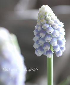 芽出し球根 グラデのムスカリ 『オーシャンマジック』 | すべての商品 |  | Junk sweet Garden tef*tef* ガーデニング雑貨・花苗