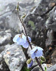 「青いケシ」新種、ブータンで採取 山岳地帯で3種発見(朝日新聞デジタル) - Yahoo!ニュース